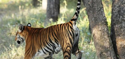 Tiger - SRv